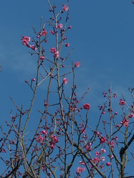 松山総合公園 寒紅梅 3