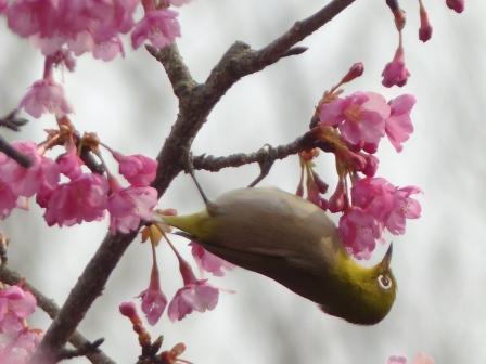 河津桜 & メジロ 4