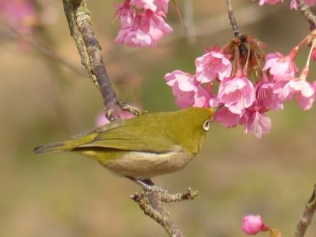 河津桜 & メジロ 6