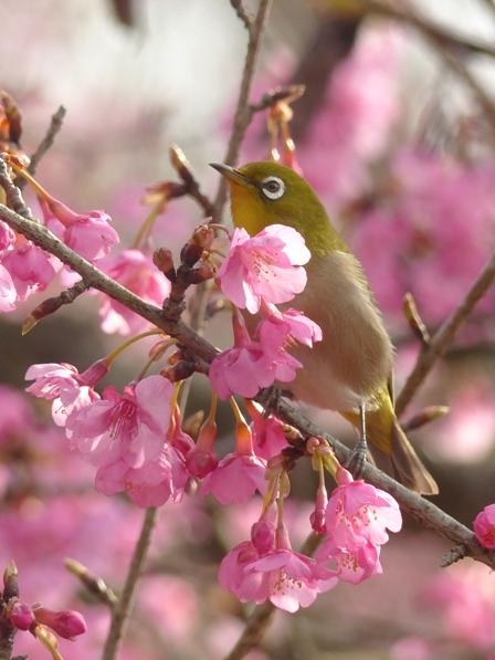 河津桜 & メジロ 13