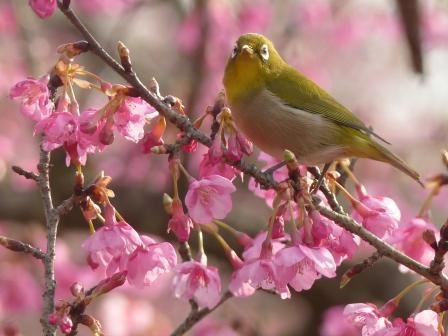 河津桜 & メジロ 14