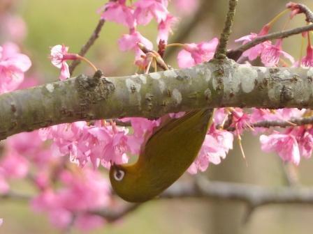 河津桜 & メジロ 15
