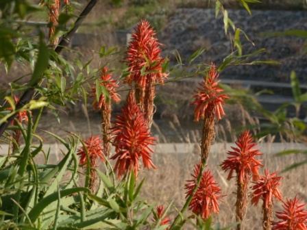 アロエ の花 1