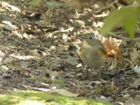 ルリビタキ ♂ 若鳥 2