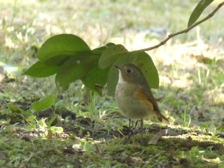 ルリビタキ ♂ 若鳥 1