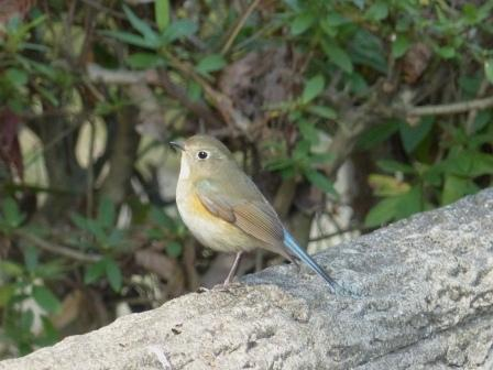 ルリビタキ ♂ 若鳥 3