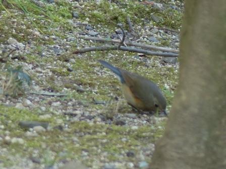 ルリビタキ ♂ 若鳥 7