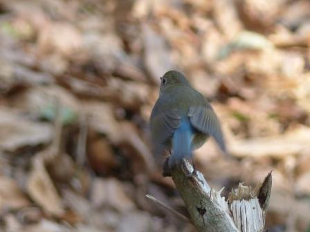 ルリビタキ ♂ 若鳥 5