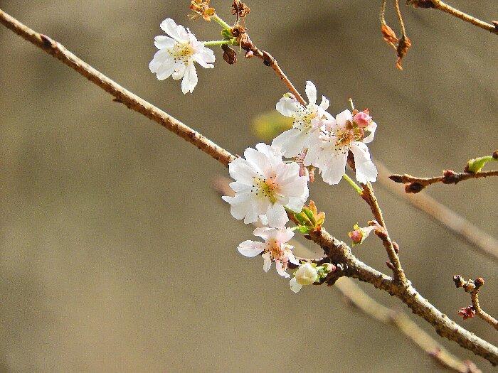 10月桜s
