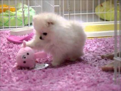ポメラニアンのぽむくん一人遊び pomeranian puppy