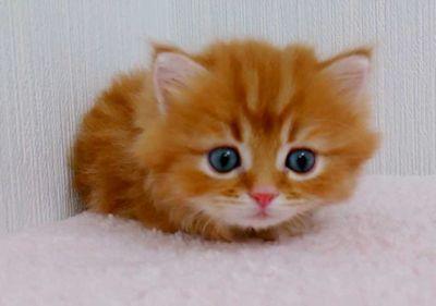 マンチカン子猫、4月29日生まれのレッド君♪