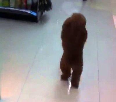 A Little Dog is Walking Like Human (Amazing!!)