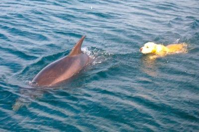 Tory Island dog swimming with dolphin