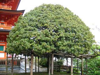 宝厳寺もちの木