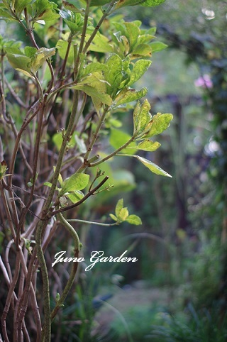 紫陽花黄葉161125