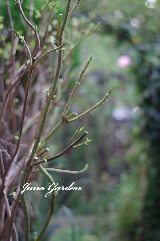 紫陽花161125