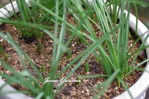 球根の芽170121
