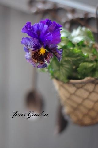 フリル咲きビオラ170125