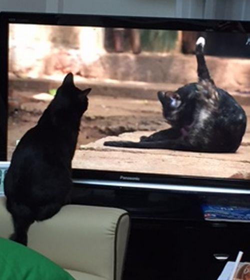 コロテレビ猫