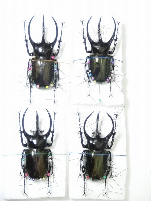 コーカサス標本