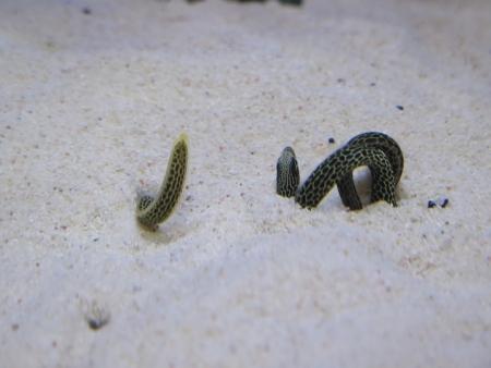 うなぎまつり うなぎ水族館 チンアナゴ