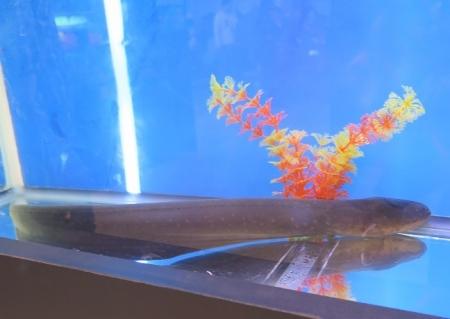 うなぎまつり うなぎ水族館 デンキウナギ