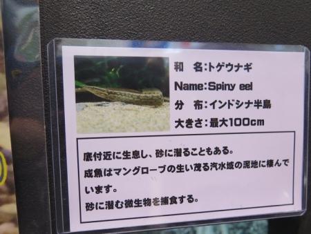 うなぎまつり うなぎ水族館 トゲウナギ