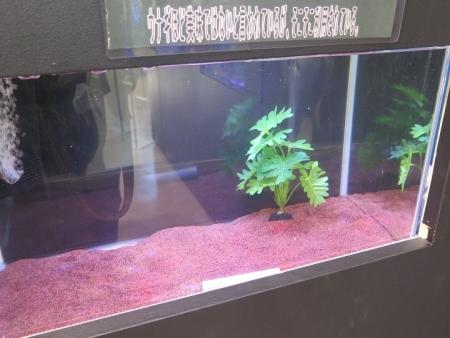 うなぎまつり うなぎ水族館 オオウナギ(稚魚)