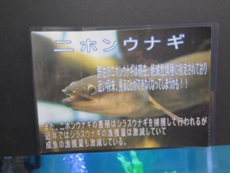 うなぎまつり うなぎ水族館 ニホンウナギ