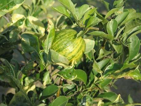ガーデンパーク 柑橘