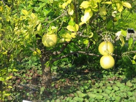 ガーデンパーク グレープフルーツ