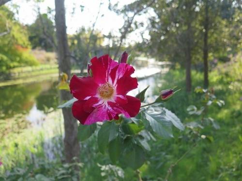 ガーデンパーク 薔薇