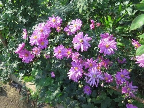 ガーデンパーク 花の美術館 シュウメイギク