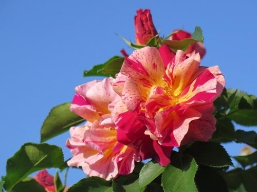 ガーデンパーク 花の美術館 薔薇