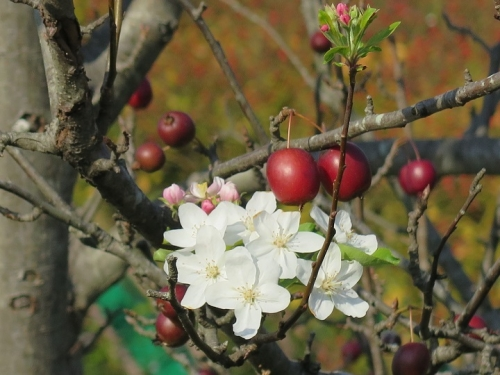 ガーデンパーク 姫リンゴ狂い咲き