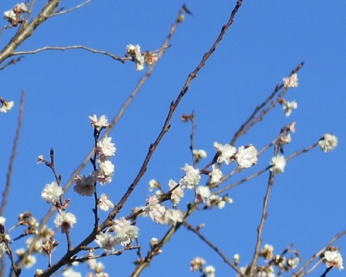 道の駅『うすずみ桜の里ねお』 冬桜