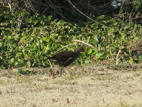 愛知 幸公園 オオバン 幼鳥