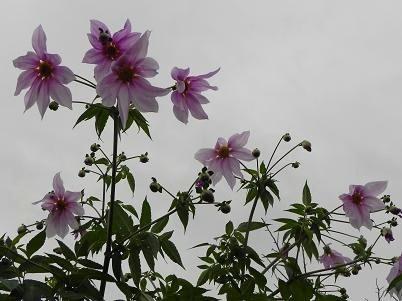 花コウテイダリア