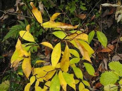 天クロモジの黄葉