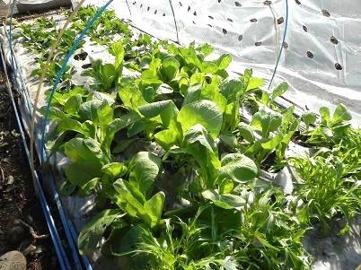 家庭茶畑の跡地栽培