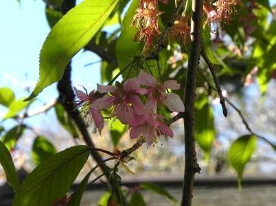 新ヒマラヤ桜