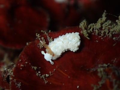 17-01-02 シロミノウミウシ