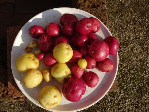 2016年 秋の新ジャガイモ です!