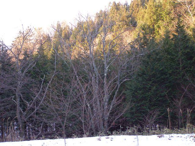 栗の木1218