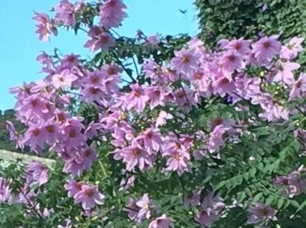 11252016 伊予の花S2