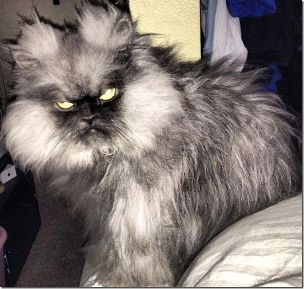 colonel-meow-angry-cat-9_thumb.jpg