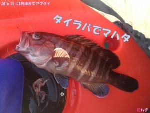 2016-01-03初漕ぎでアマダイ (9)