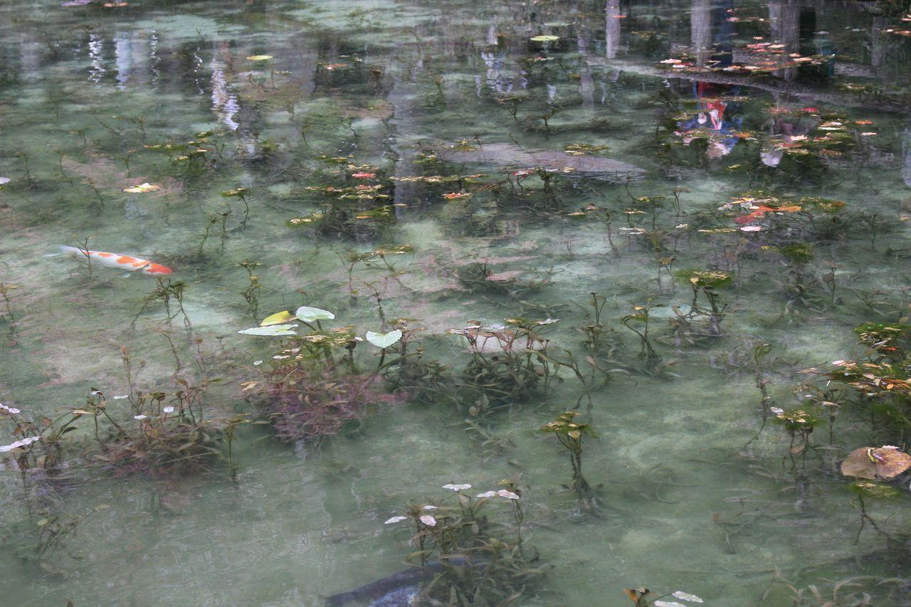 モネの池-4
