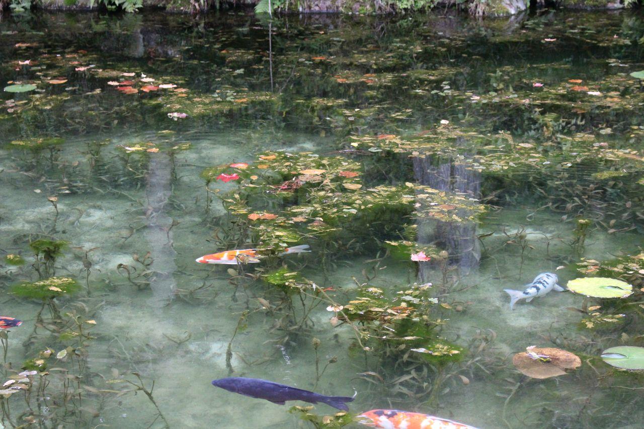 モネの池-13