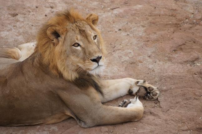 lion-1279144_1280.jpg